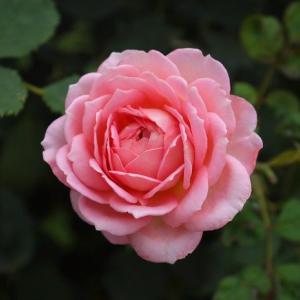 ジュビリーセレブレーション、ジャネット・・庭はささやかなバラ祭り♪