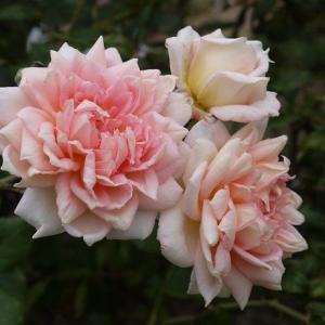 艶っぽいジャネット、夏顔ロココ、フェリシアがきれいに咲いててビックリ