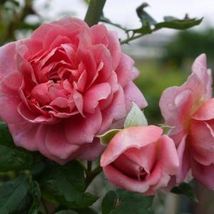 ローブアラフランセーズの魅力、雨上がりの綺麗なバラたち♪