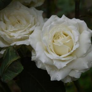雨にも傷みにくい白バラ ティネケ、咲き進んでゴージャス ローブアラフランセーズ