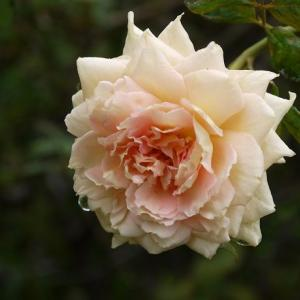 ダブルデライト、ジャネット、ラマリエ・・・繰り返しよく咲くバラ♪