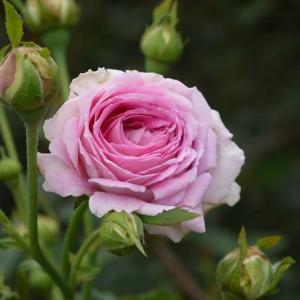 パヴィヨンドゥプレイニー移植して元気はつらつ!、クリーミーエデン コロっとかわいい花♪