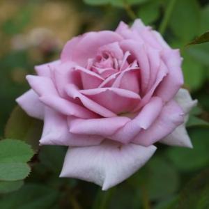 ベラドンナ、ジャネット 美しい貴婦人のようなバラ☆彡
