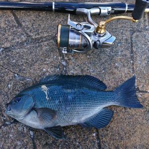 大分にてグレ釣り シーズン中に釣るのは15年振り