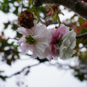 いまだに八重桜?が咲いています (タムロン 11-20mm F2.8 Di III-A RXD 使用)