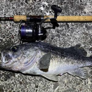 クロソイ・シマゾイ・ハチガラの釣り分け考 夜釣りで久しぶりの良型クロソイ