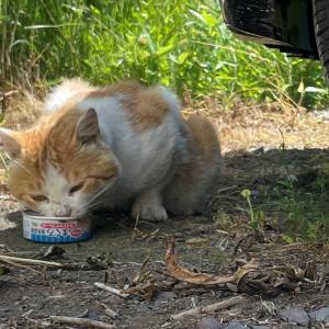 野良猫も熱中症 利尻島爆熱