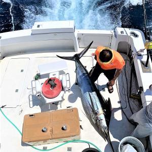 和歌山 三重沖 連日のカジキフィーバー 週末はぜひ出航してください
