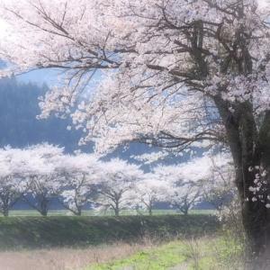 名田庄の桜