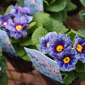 色とりどりで咲き方も可愛いジュリアン