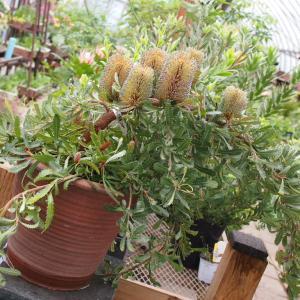 オーストラリア原産の植物が入荷しました