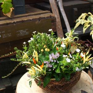 夏がたくさん詰まったトウガラシ・ウチュウの寄せ植え♪