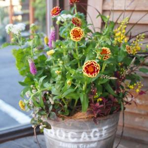 少しずつ秋の気配を・・・ジニア・ジャジーmixの寄せ植え