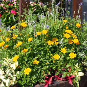 ビデンスで明るくハッピーな花壇♪