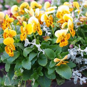 ビオラ入荷しました!冬のお花、続々と♪