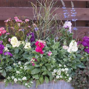 ふんわり優しい八重咲ストックが彩りを添える冬のコンテナガーデン♪