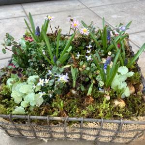春が待ち遠しくなる寄せ植えです