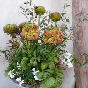 可愛い花色だけでは物足りない!ラナンキュラス・アラクレJrのシックな寄せ植え♪