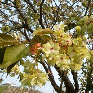 黄色の桜の花