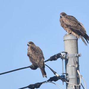 涸沼・大洗で見た鳥たち