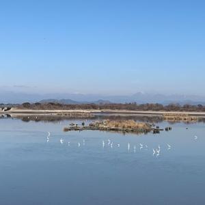 1月の探鳥会in渡良瀬遊水池