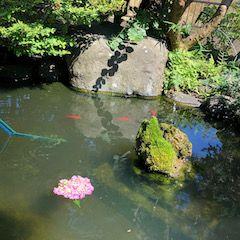 池の紫陽花