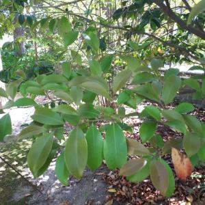 マサカキの葉って、最初はギザギザなのね(?)