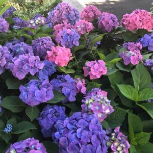 紫陽花柄 入荷しました