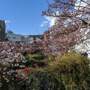 糸川沿いのあたみ桜