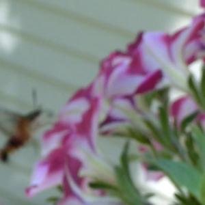鳥のような蜂のような・・・?実は蛾でした