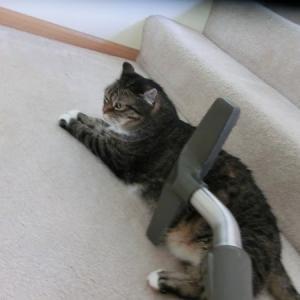 掃除機に吸われるのが大好きなネコ