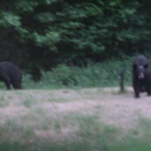 庭に熊が!! /  アメリカで作るカルピスもどき