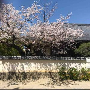 東高 明教館の桜の写真を撮っていたら
