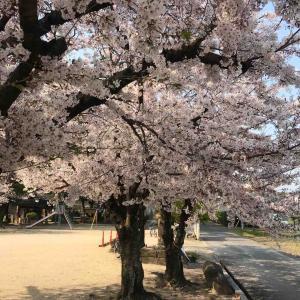 桜は満開 初詣に来る神社⛩