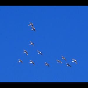 白鳥飛来数 【100羽】程になりました