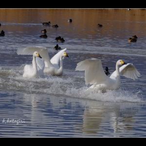 白鳥飛来数 【220羽】程になりました