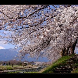 桜巡り 【早春賦碑】【松本城】【安養寺】