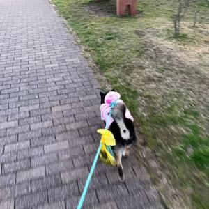 公園にお散歩、黒柴のアンちゃん♪