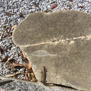 踏み石を動かぬ蜥蜴尾は青し