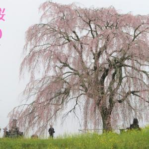 【#春は必ず来る】しだれ桜@大分竹田~君に見せたい春がある2020~
