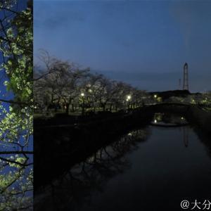 【夜桜2020】大分市平和市民公園