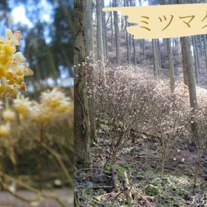 【大分】ミツマタが集う場所~野倉の里ミツマタの森@九重町~
