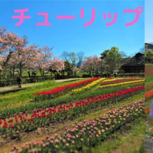 チューリップ@原尻の滝 2020~チューリップソフトクリームもね♪~