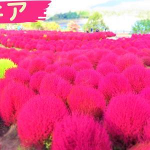 コキア(ホウキグサ)@大分農業文化公園 2020秋~山の中に褐色サンゴ!?~