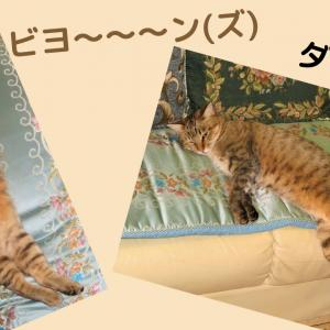 ビヨ~~~ン(ズ)!&ダラ~ン…~娘猫ラン@大分県豊後大野市~