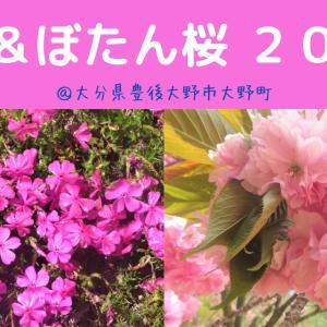 【大分】芝桜&ぼたん桜2021@豊後大野市大野町~今年は早くも見ごろ!!~