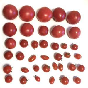 家庭菜園のトマトちゃん