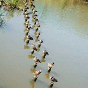 小鴨の行列