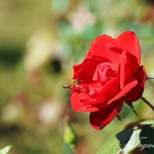 花菜ガーデン・秋バラ