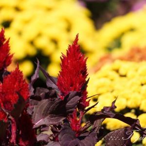秋の花・花菜ガーデン